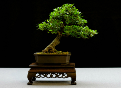Bonsai are also cultivated for their flowers
