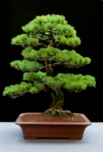 An excellent Bonsai Pine